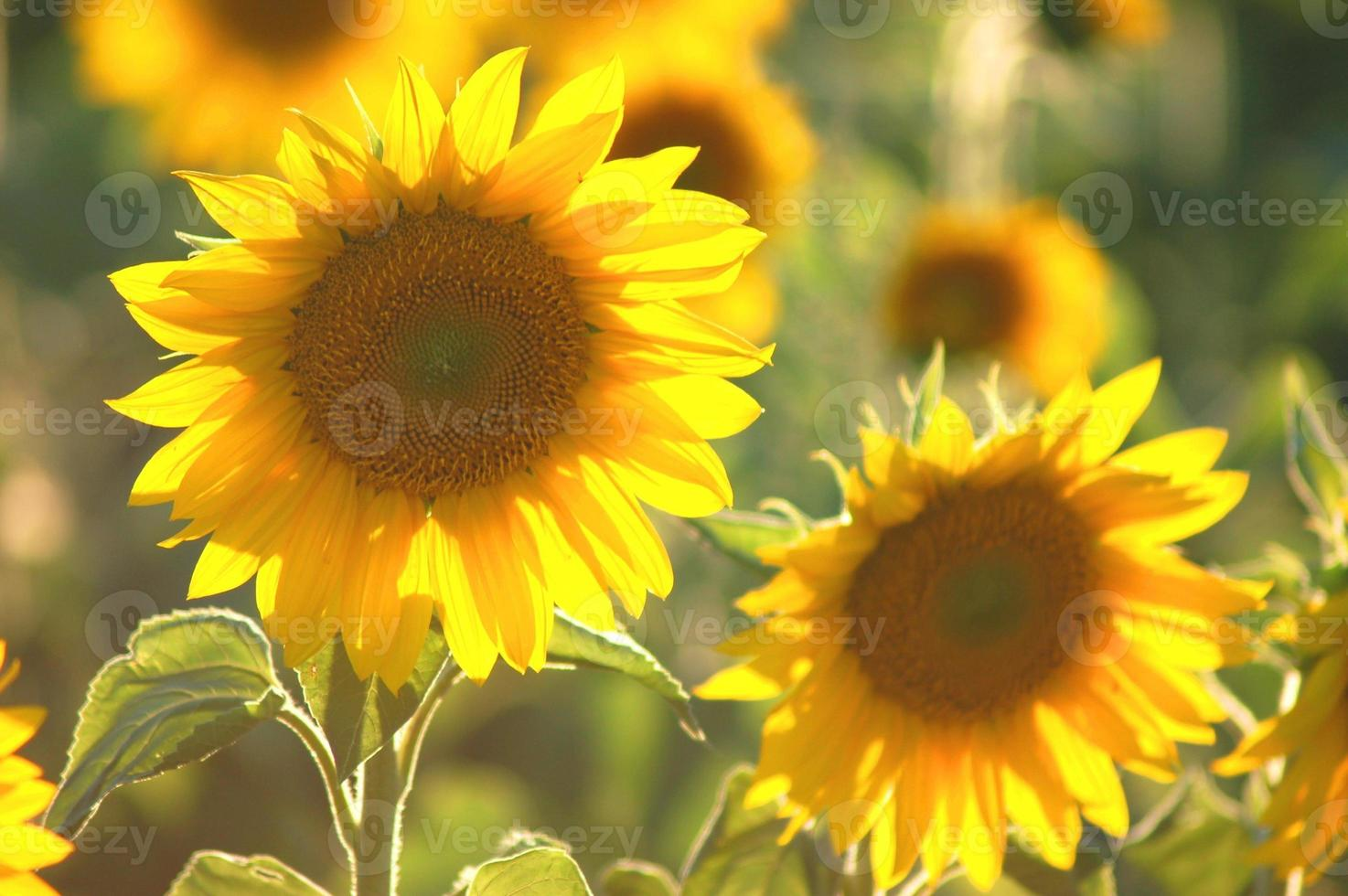 schöne Sonnenblume gegen Sonnenuntergangslicht foto