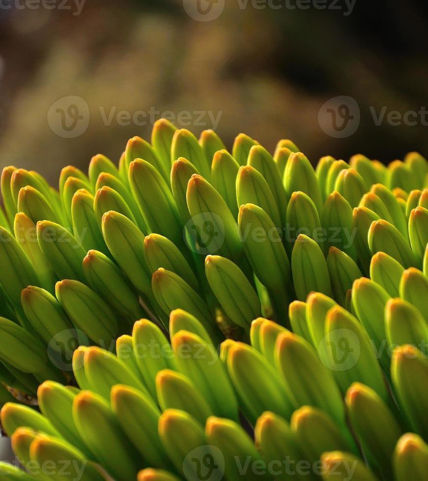 Ansammlung prächtiger grüner Blütenknospen der Agave foto