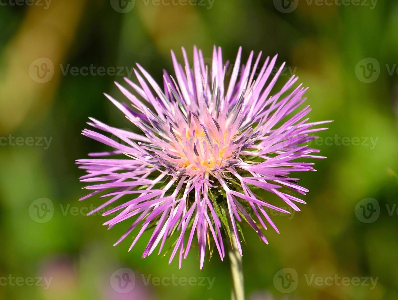 schöne Blume der wilden Distel foto