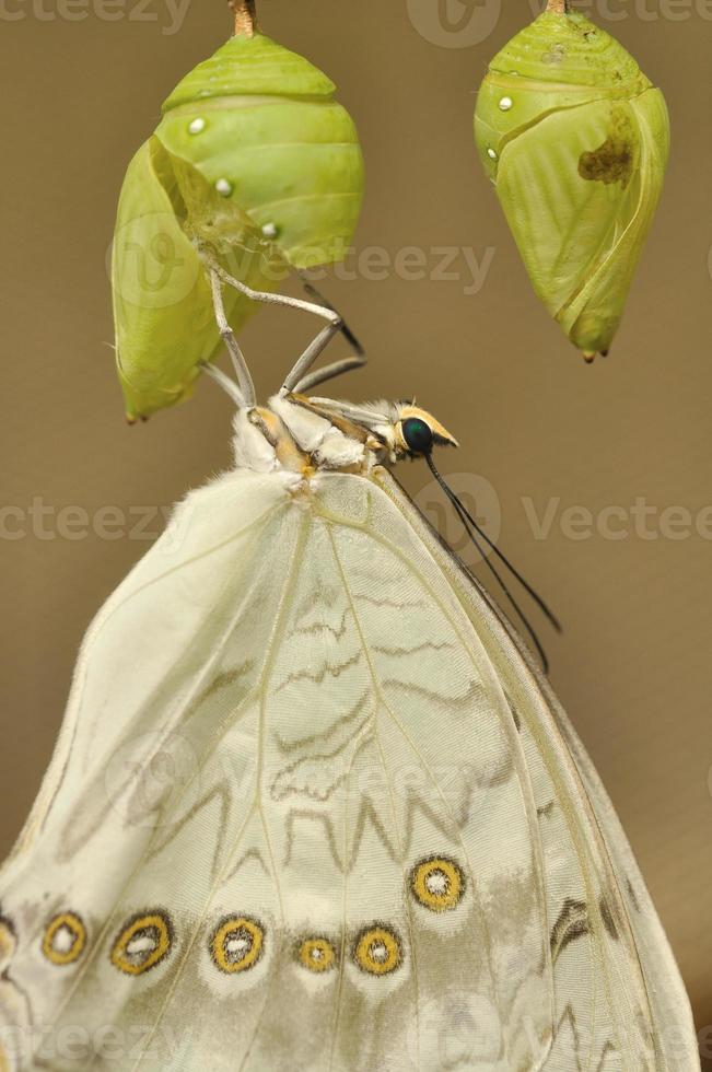 weiße Schwalbenschwanz Eklosion foto