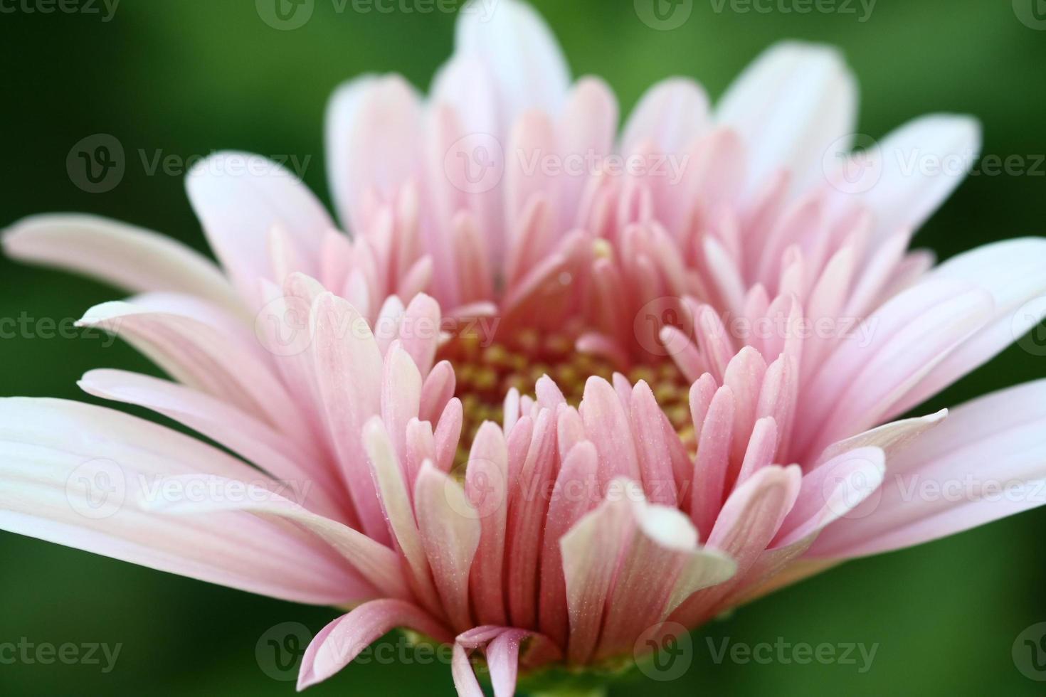 Nahaufnahme rosa Blume im Garten verlassen foto