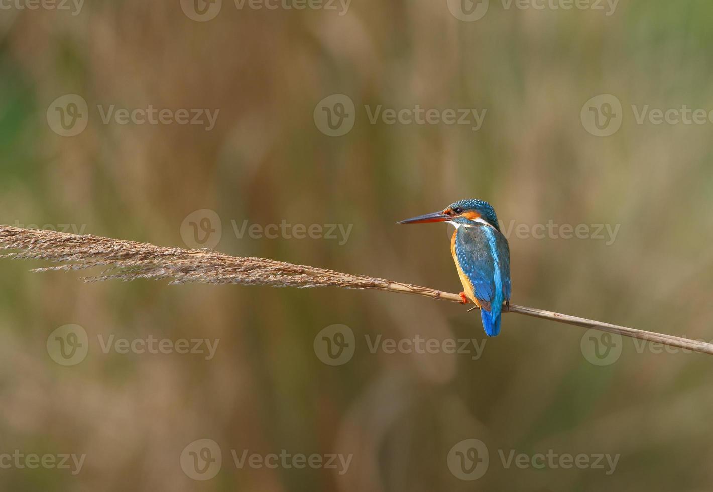 gewöhnlicher Kinfisher foto