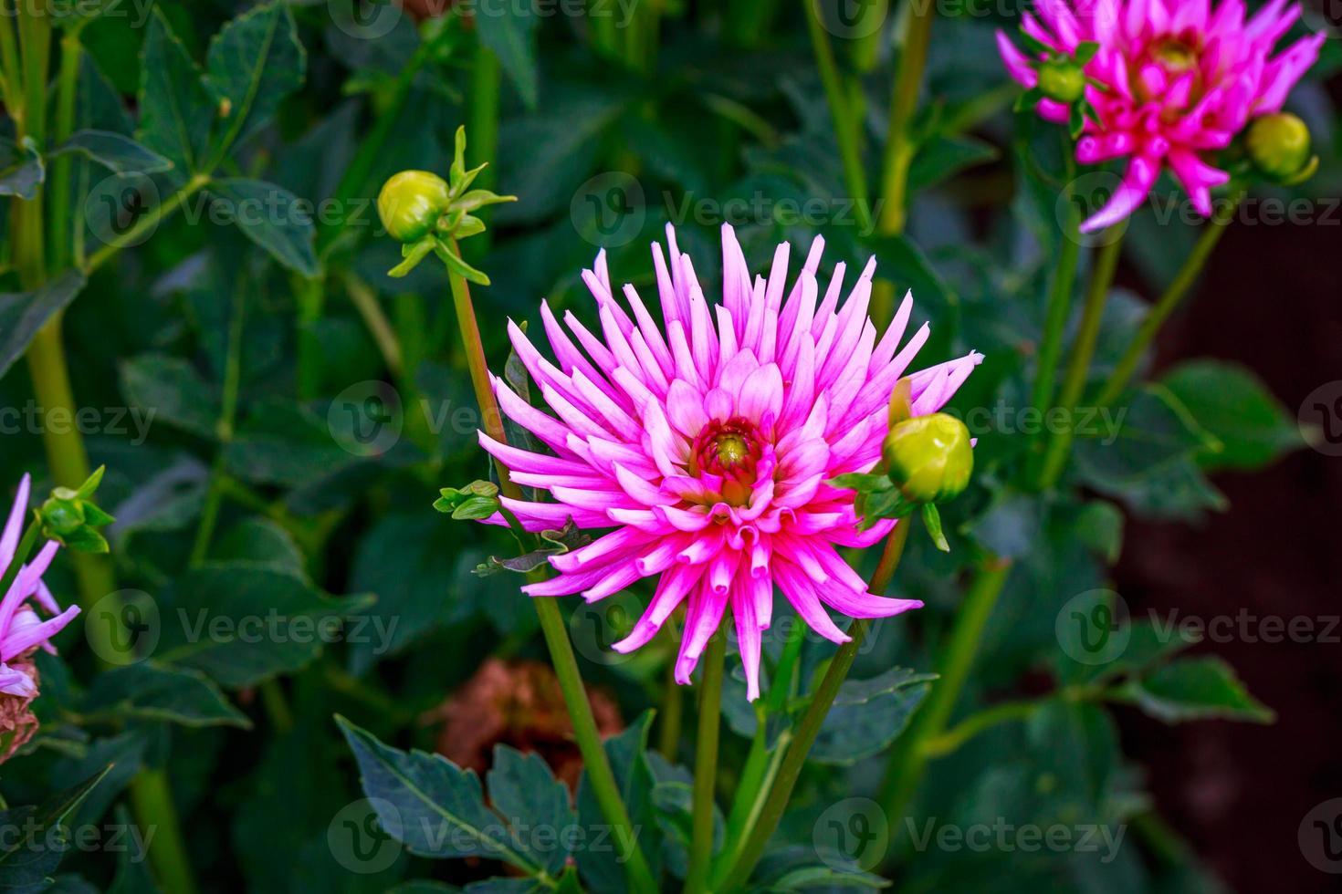 schöne Dahlie im Garten foto