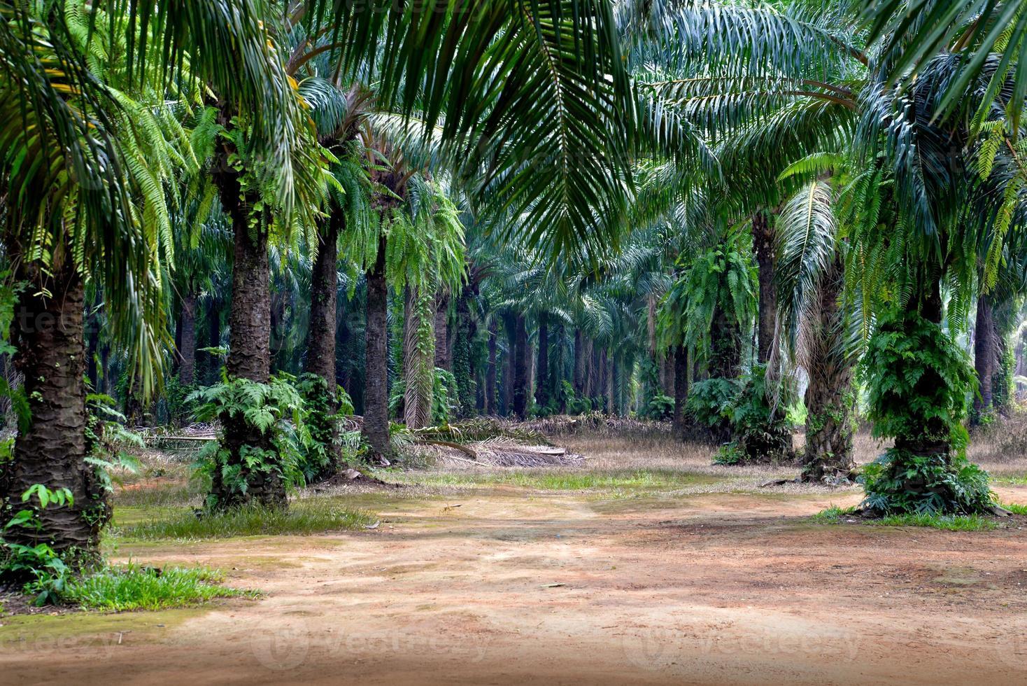 Ölpalmenplantage in Krabi, Thailand foto