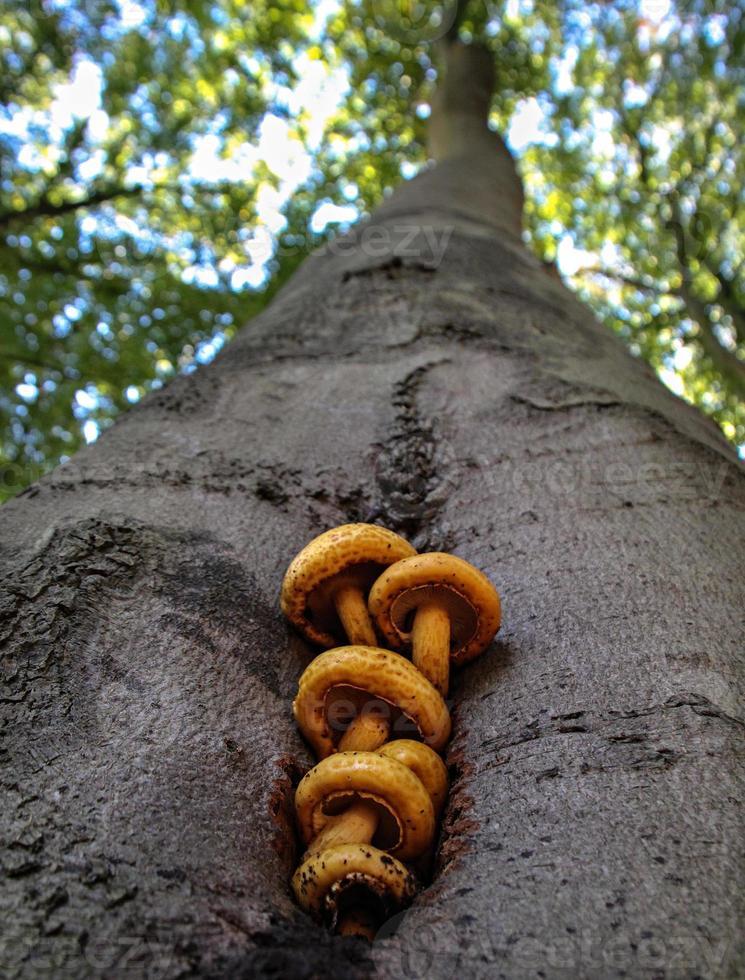 Pilze auf einer lebenden Buche foto