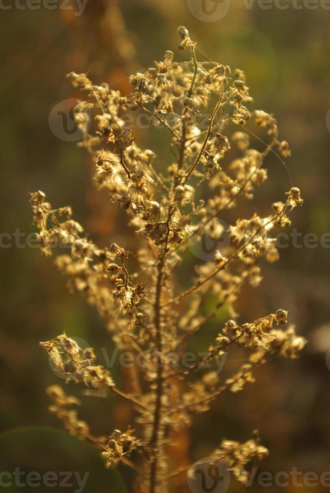 trockene Blumen foto