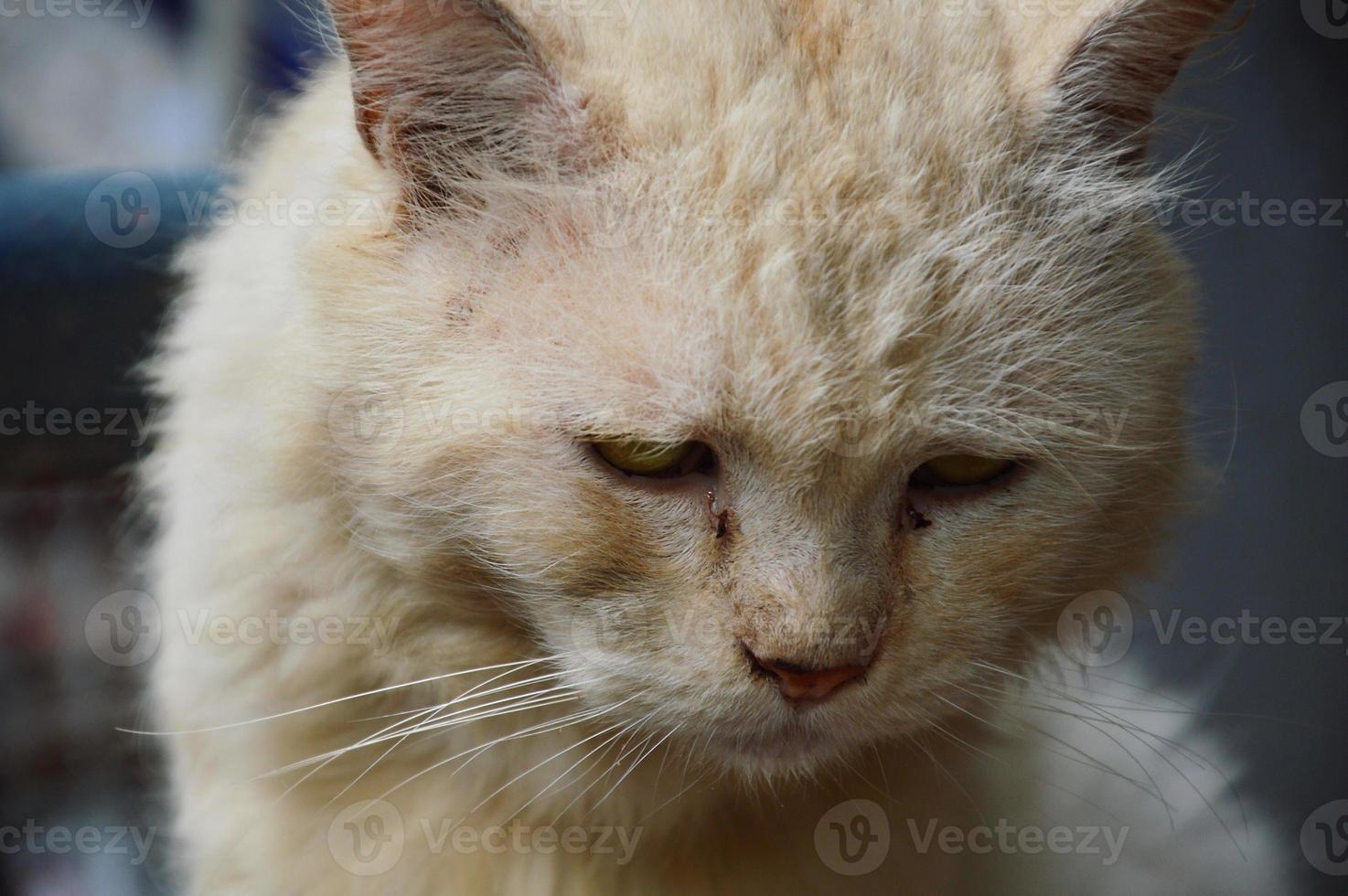 Persische Katze foto