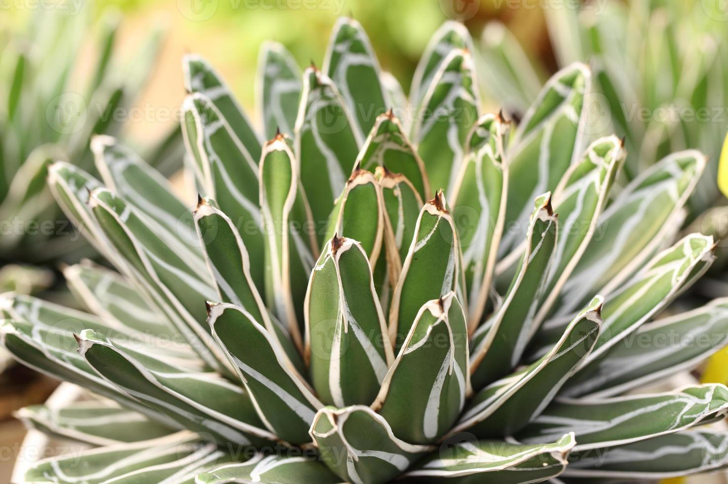 scharfe spitze Agavenpflanzenblätter foto