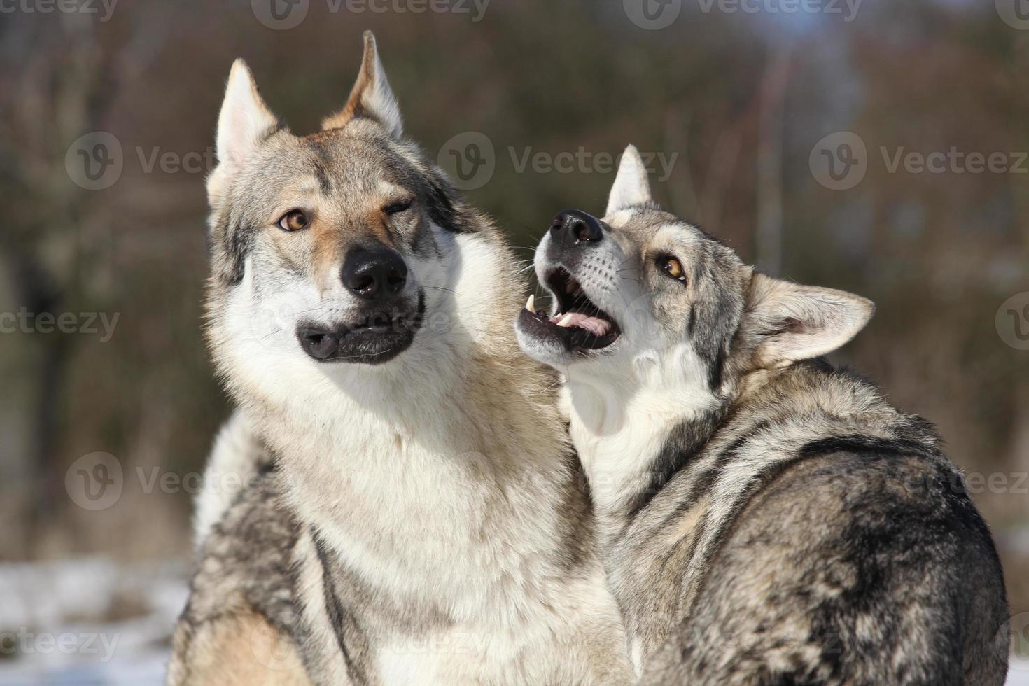 tschechoslowakischer Wolfshund, der eine Saarloos-Hündin umwirbt foto