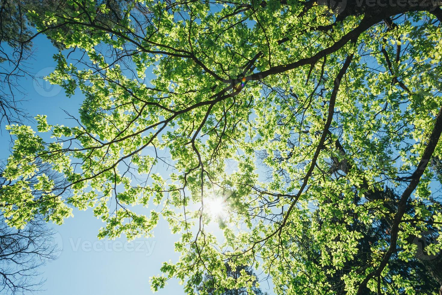 sonniger Baldachin von hohen Bäumen. Sonnenlicht im Laubwald, Sommer foto