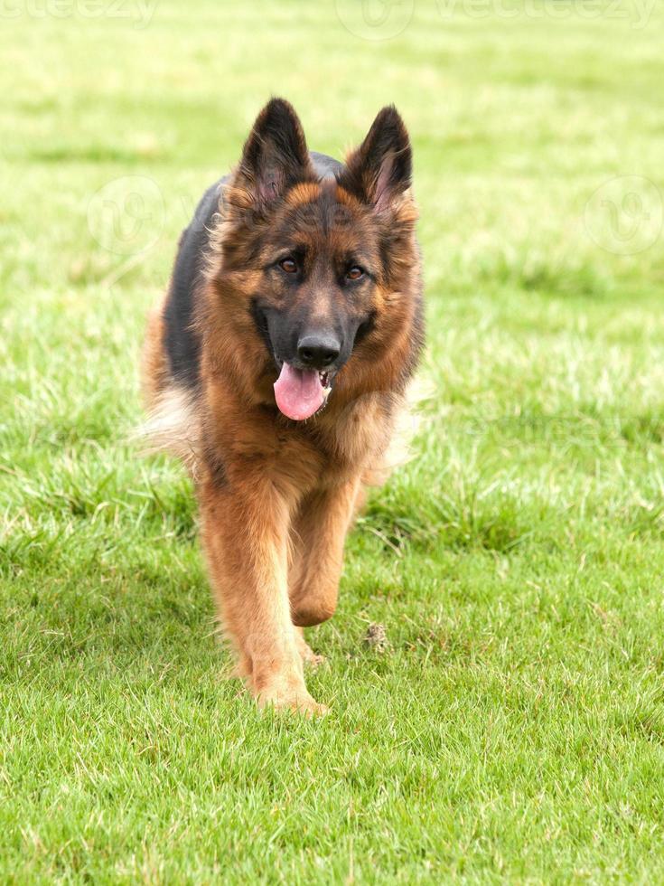 Deutscher Schäferhund auf grünem Gras foto