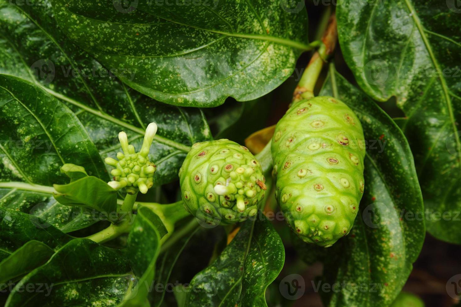 Noni indische Maulbeerfrucht foto