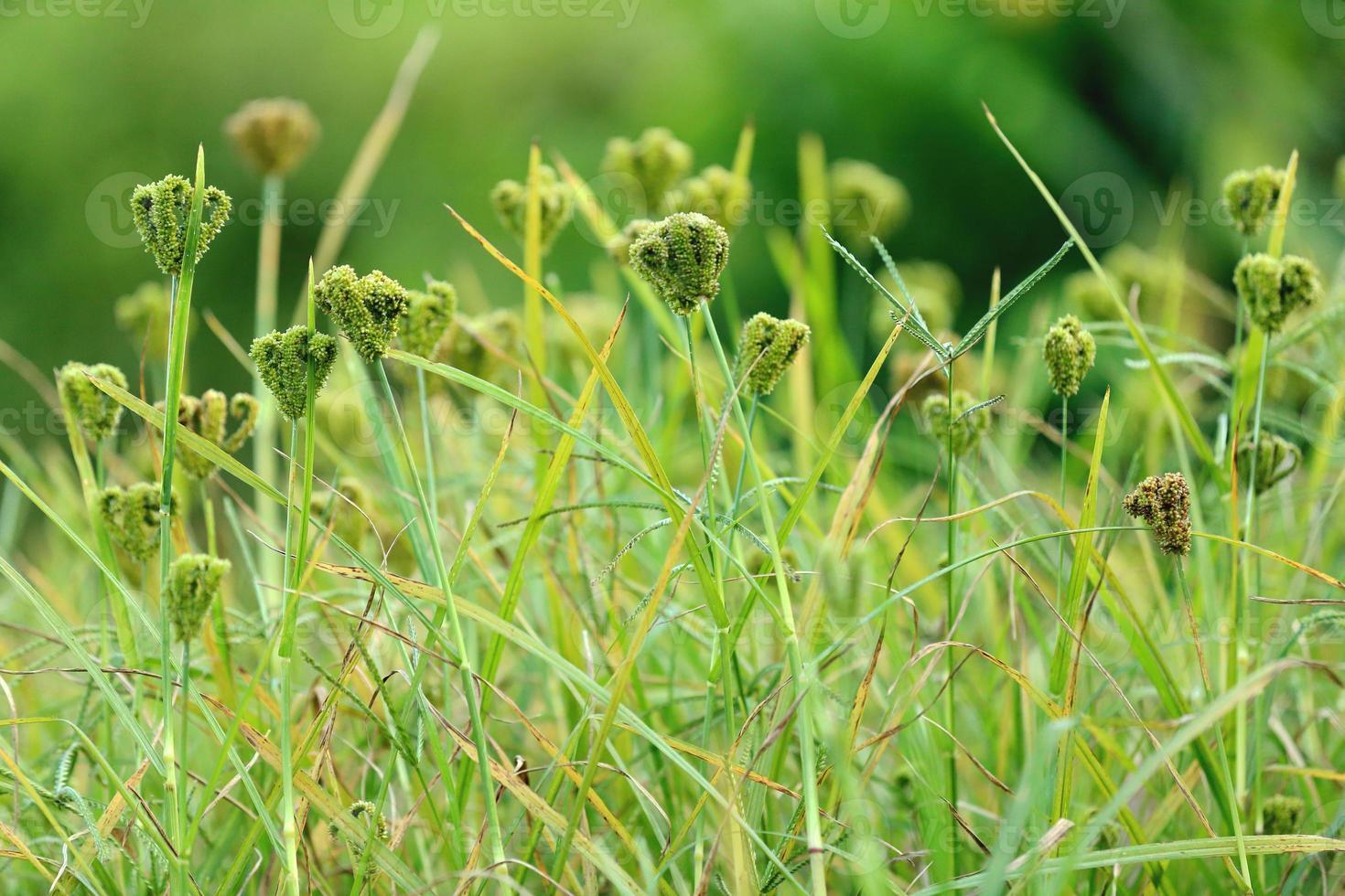 grünes Feld in Dhampus-Nepal. 0513 foto
