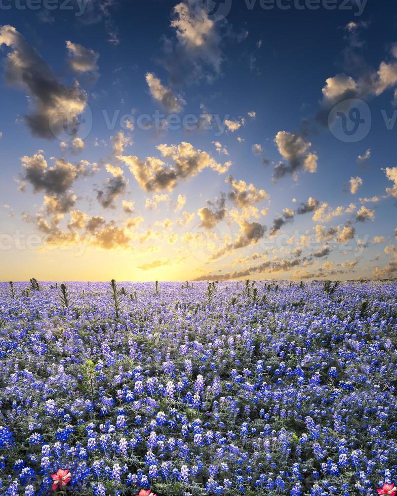 Bluebonnets im Hügelland von Texas foto