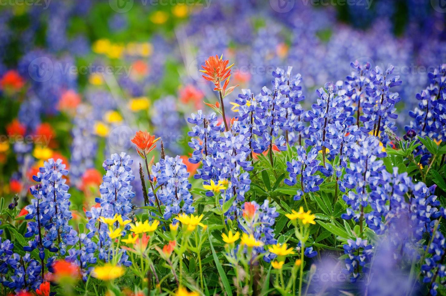 Heliotropkamm Wildblumen. foto