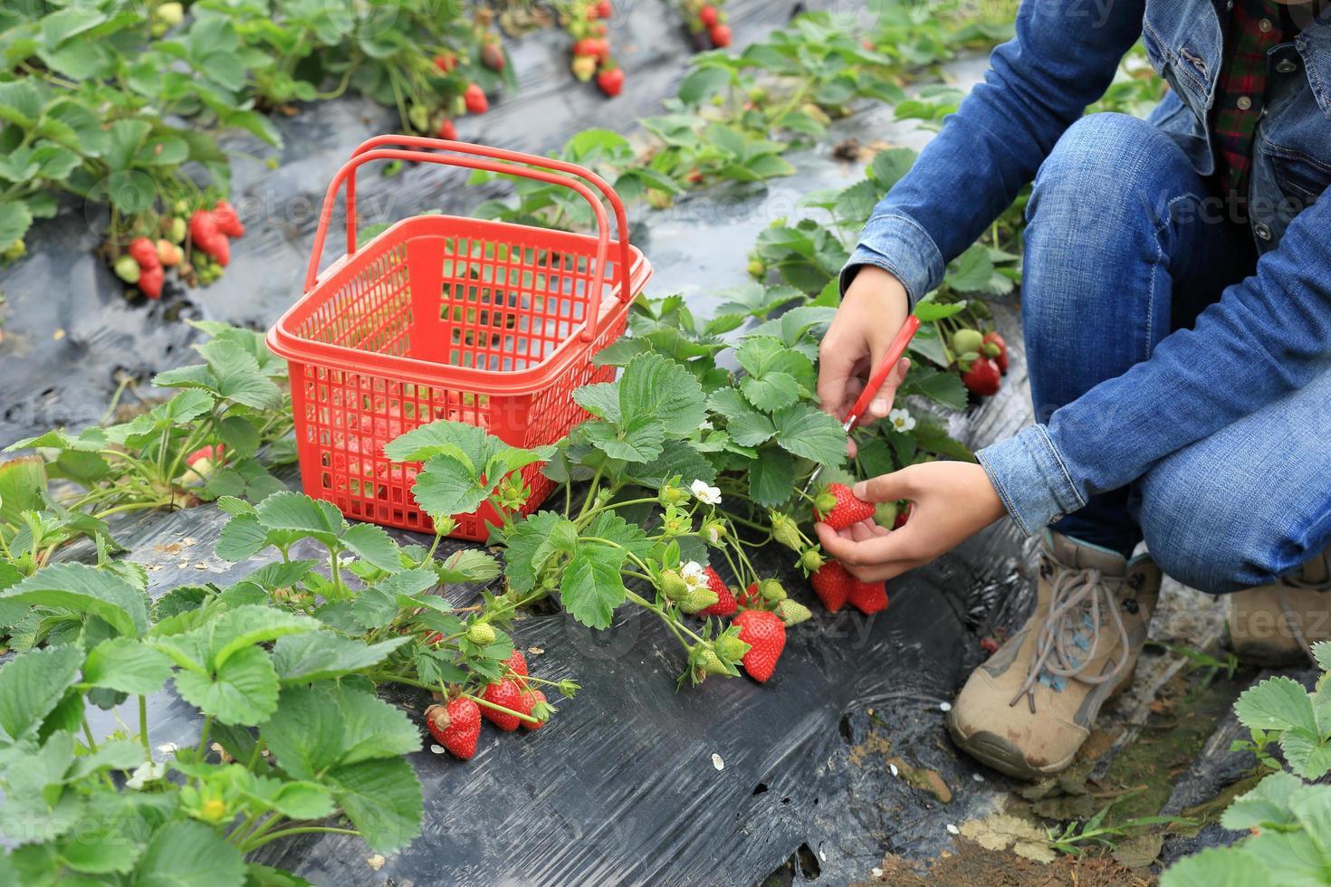 Hände, die Erdbeere im Garten pflücken foto