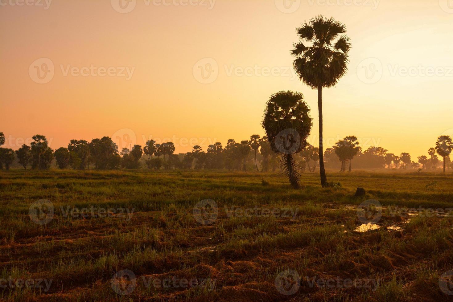 Zuckerpalme und Reis bei Sonnenuntergang abgelegt foto