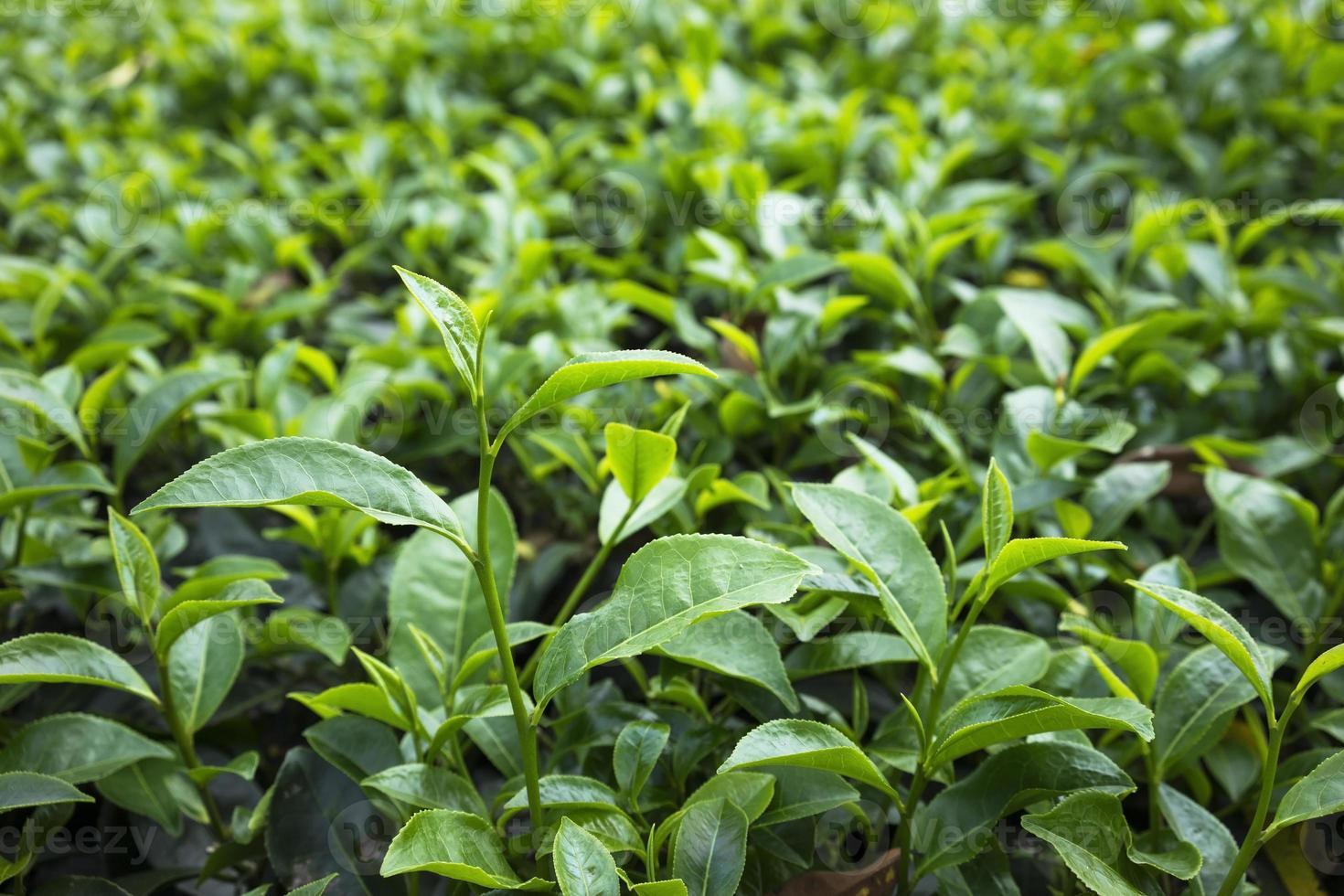grünes Teeblatt auf dem Feld foto