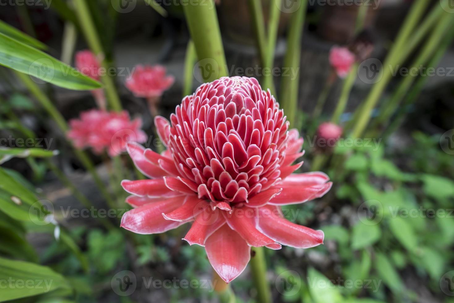 tropische rote Blume von Etlingera elatior. foto
