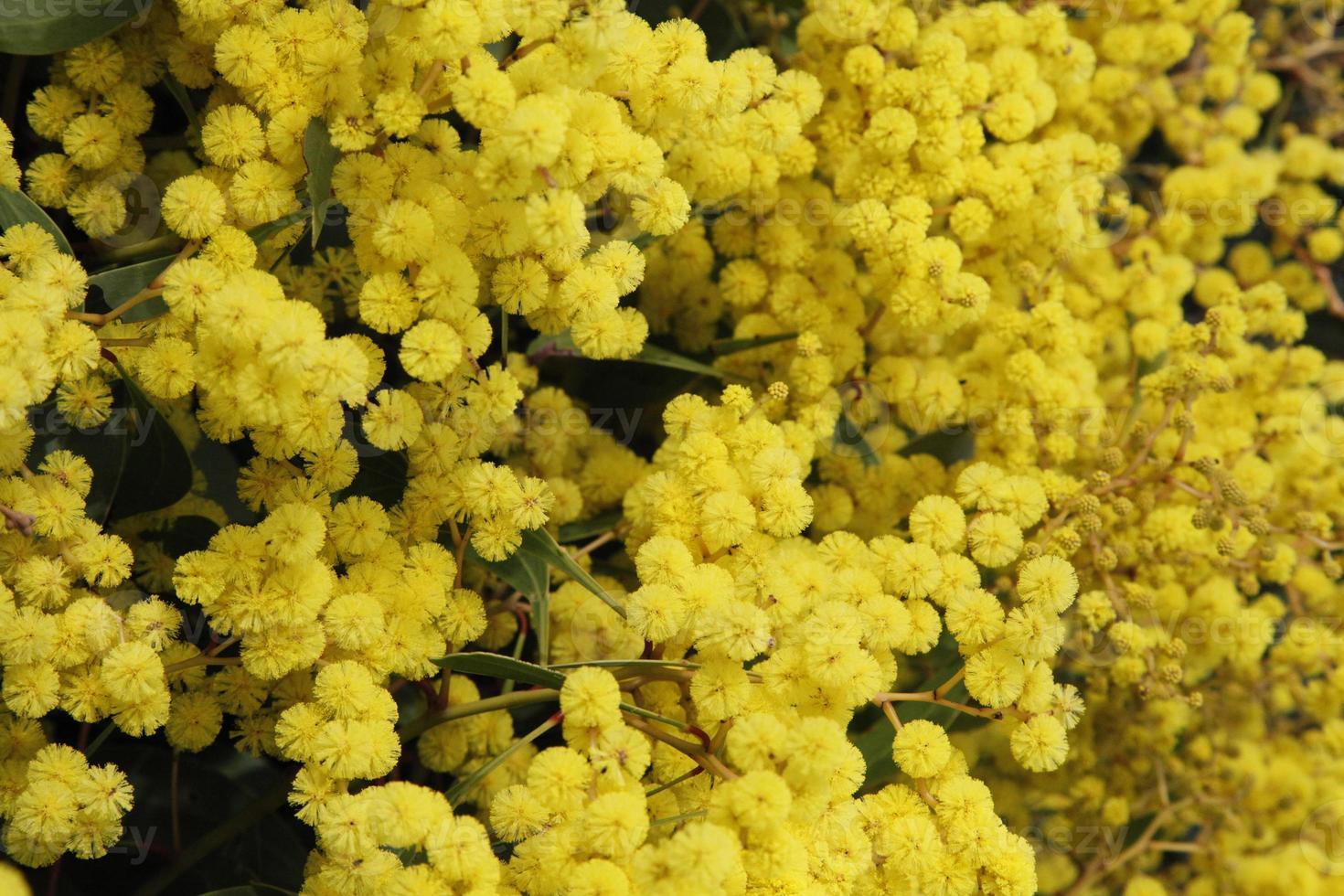 goldener Zweig, australische wilde Blume foto