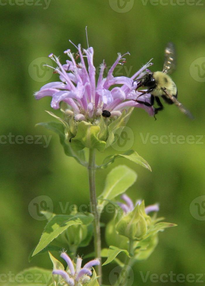 wilde Bergamotte und Hummel sammeln Nektar foto