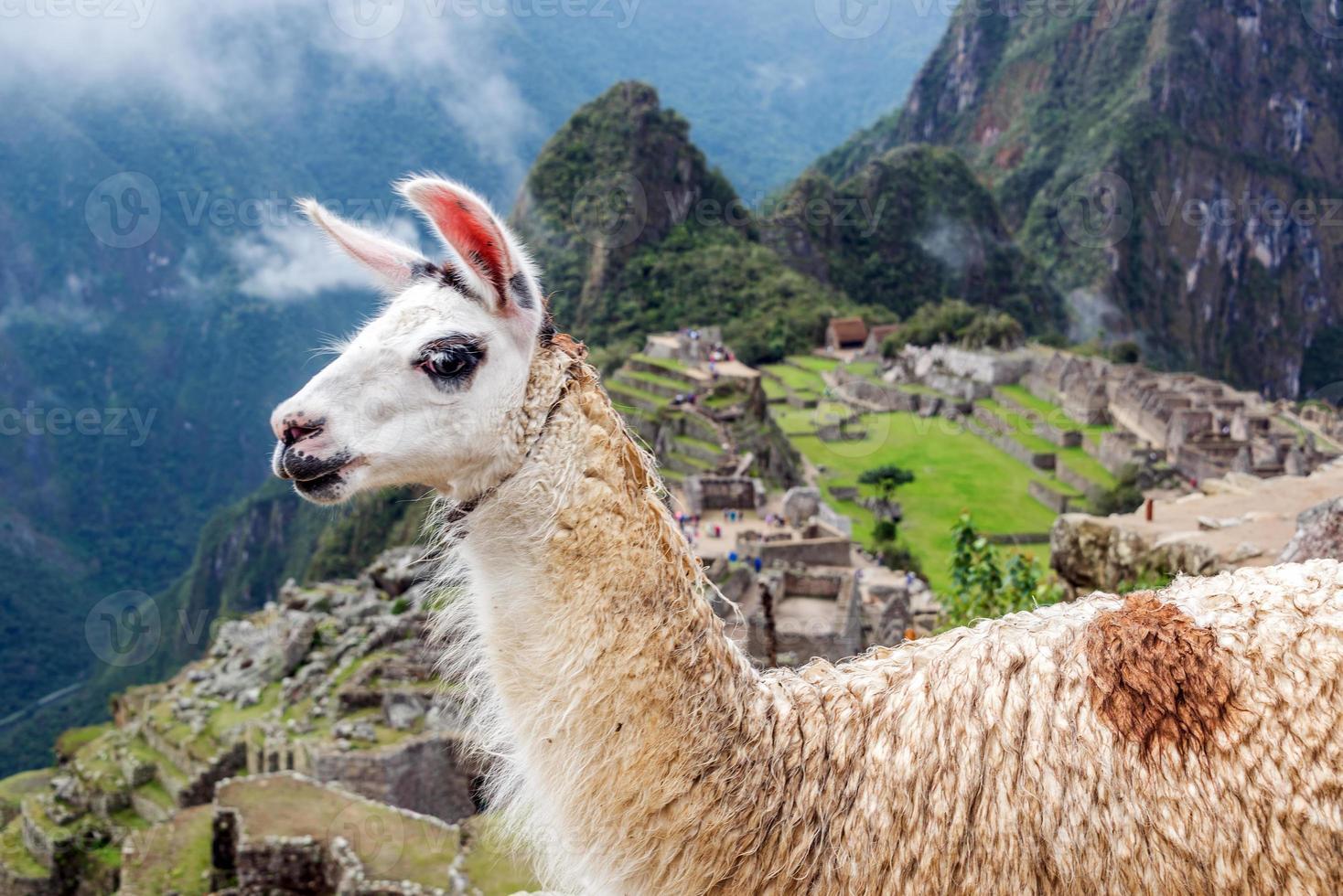 Nahaufnahme des niedlichen Lamas bei machu picchu in peri foto