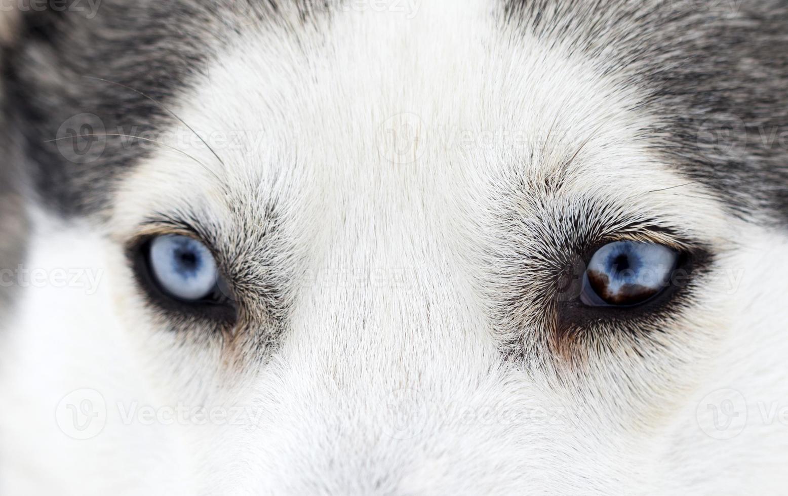 Nahaufnahme von Husky Dog Blue Eyes foto