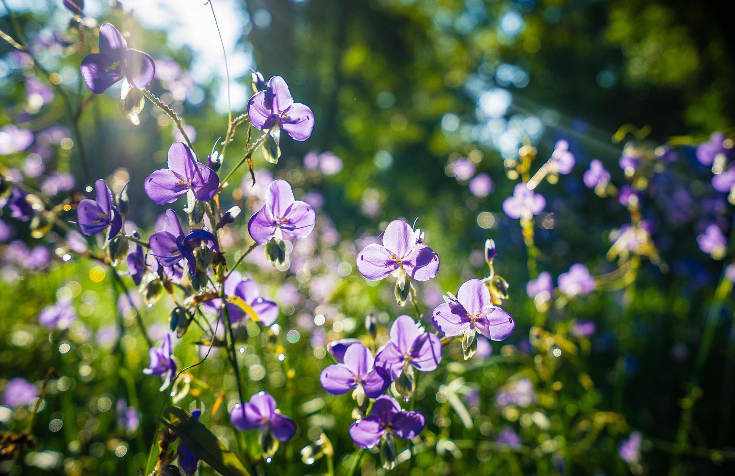 Haubenschlangenblumen im Garten foto