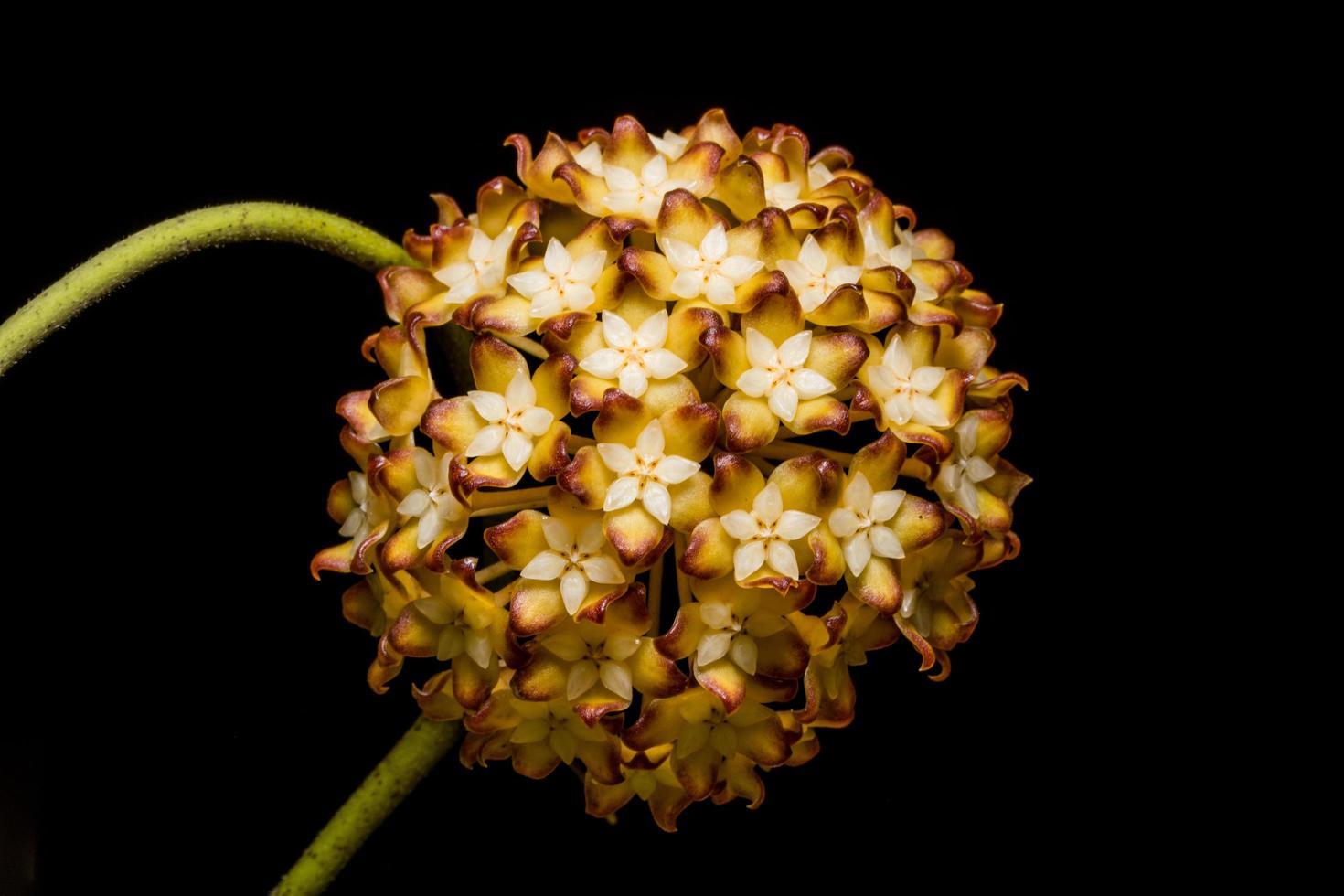 Hoya Blume auf schwarzem Hintergrund foto
