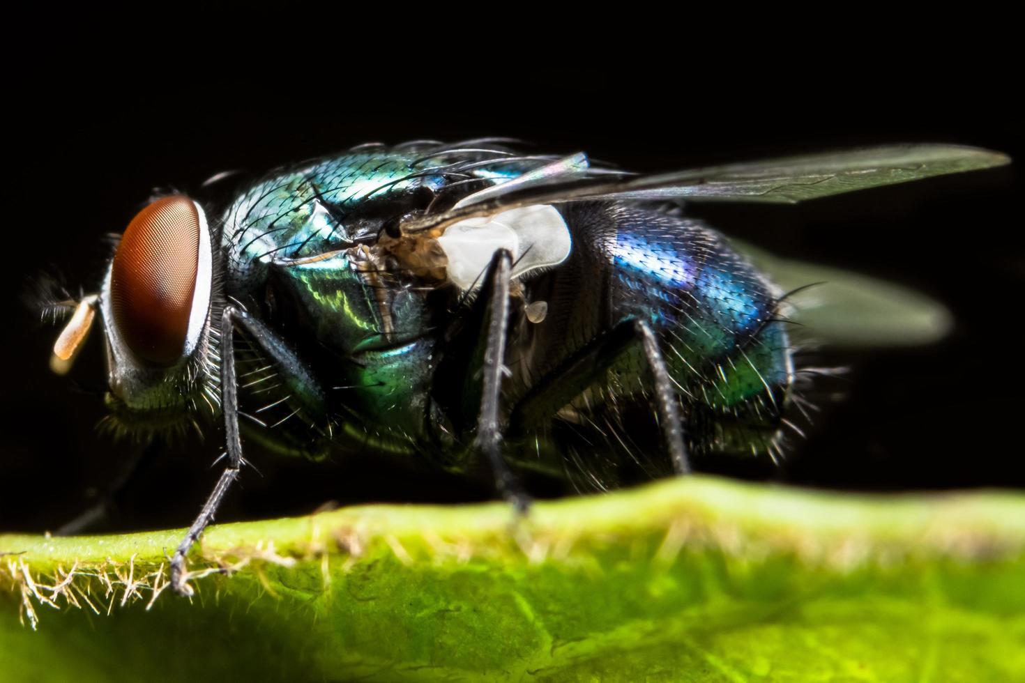 Nahaufnahme der Fliege auf Blatt foto