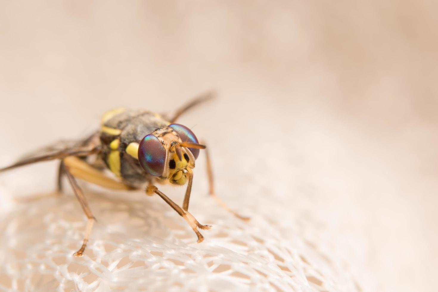Nahaufnahme Drosophila Melanogaster foto