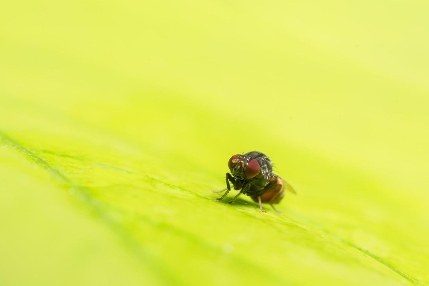 Nahaufnahme von Drosophila melanogaster auf Blatt foto