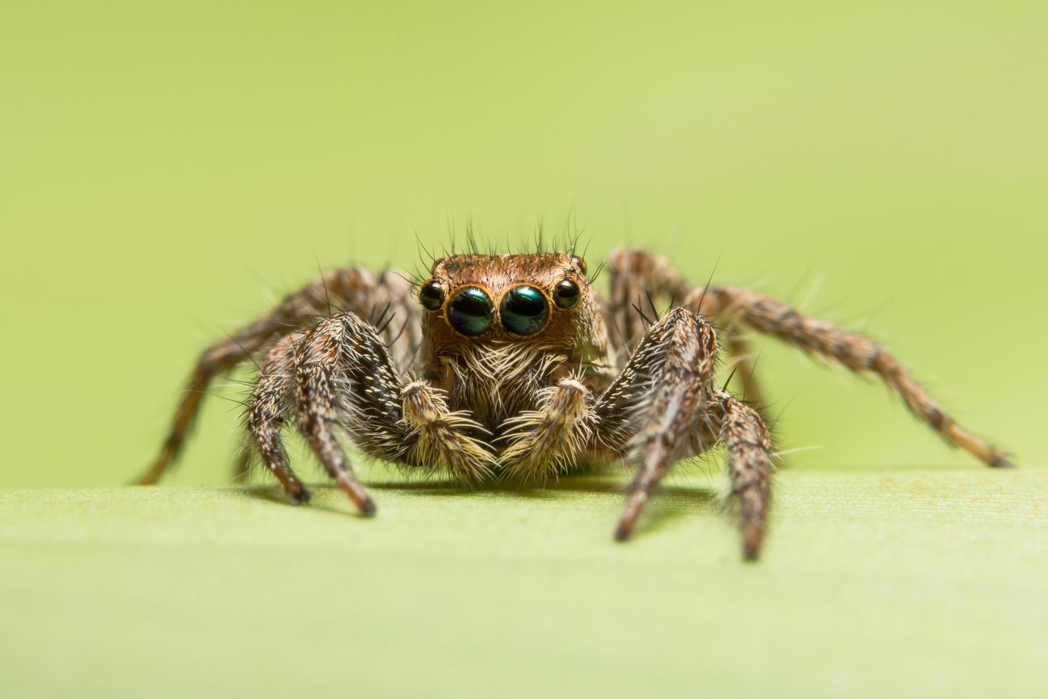 Spinnenwanderung auf grünem Hintergrund foto