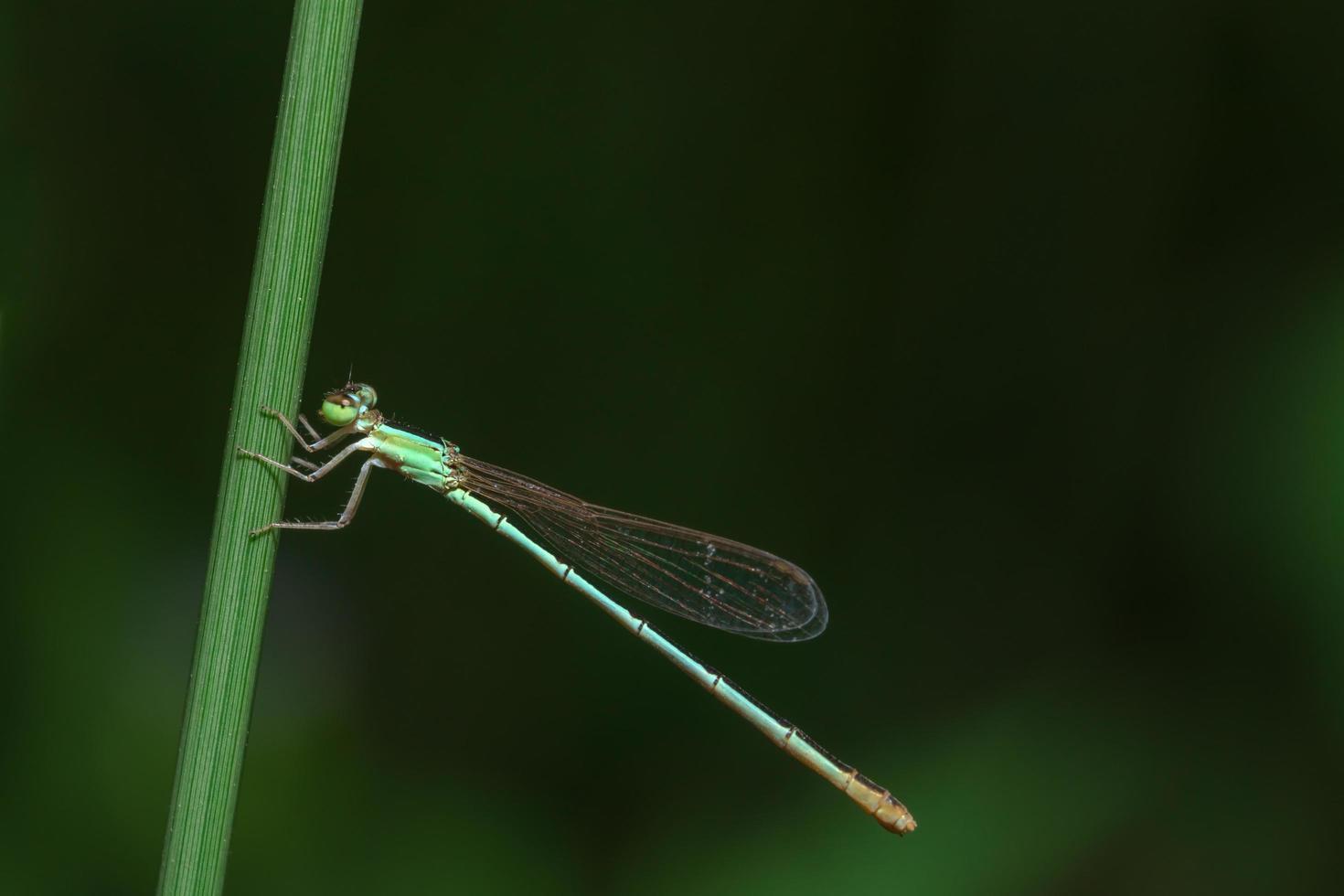 Insekten-Nahaufnahme von Damselfly foto