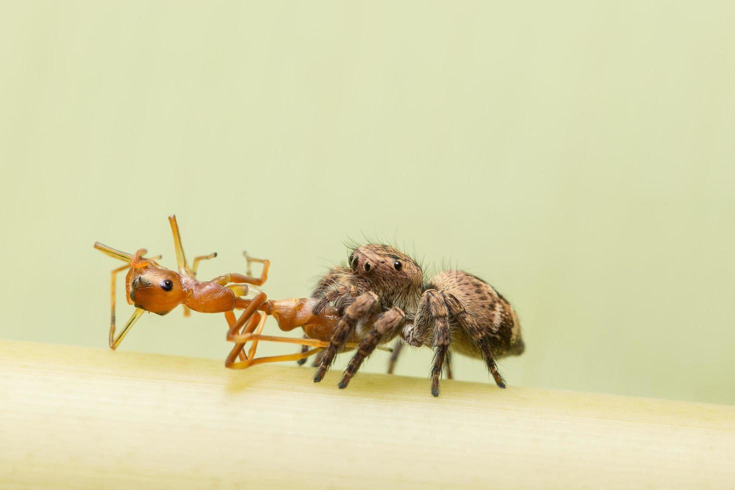 Spinne frisst Ameise foto