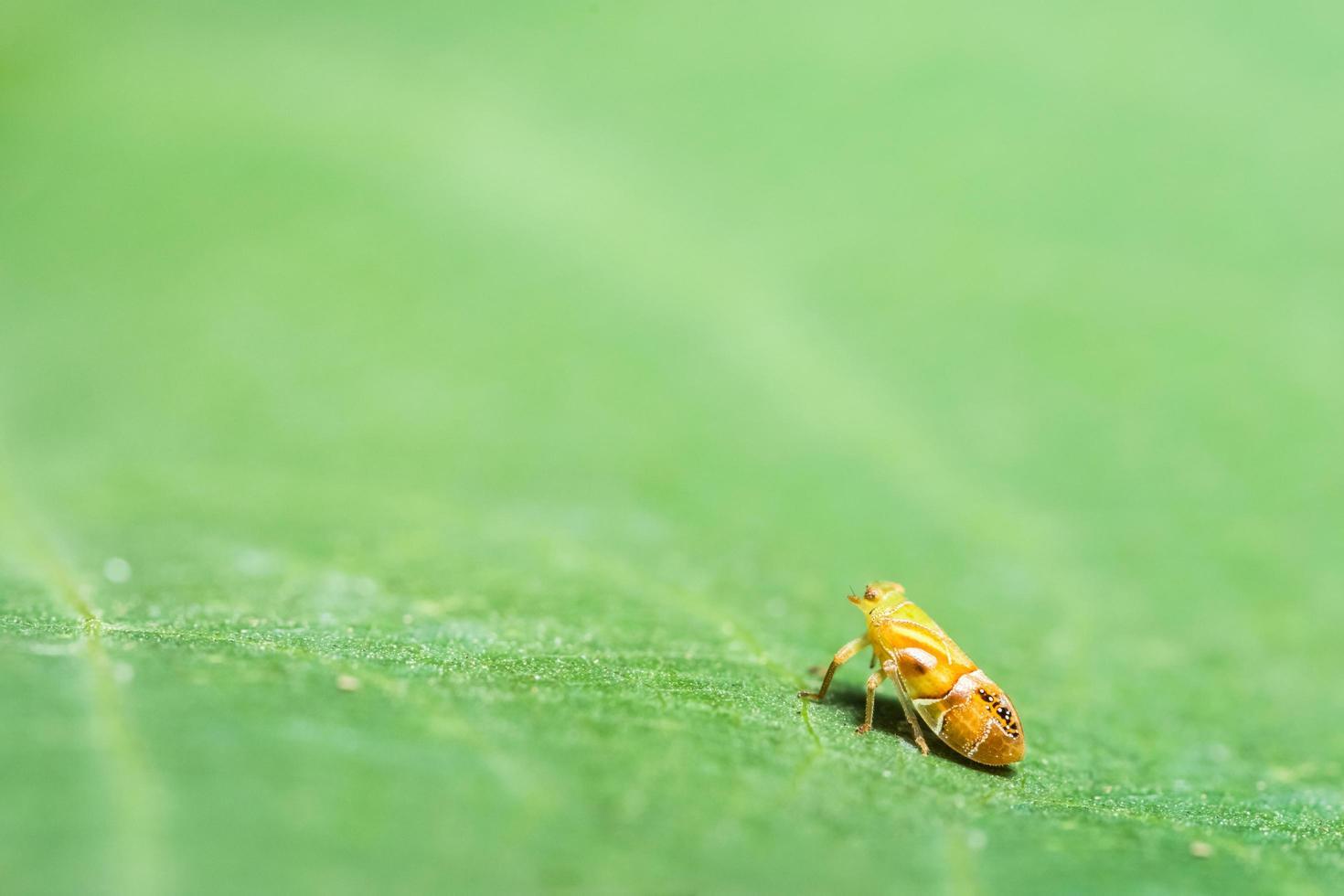 Leafhopper Insekt kreuzt Blatt foto