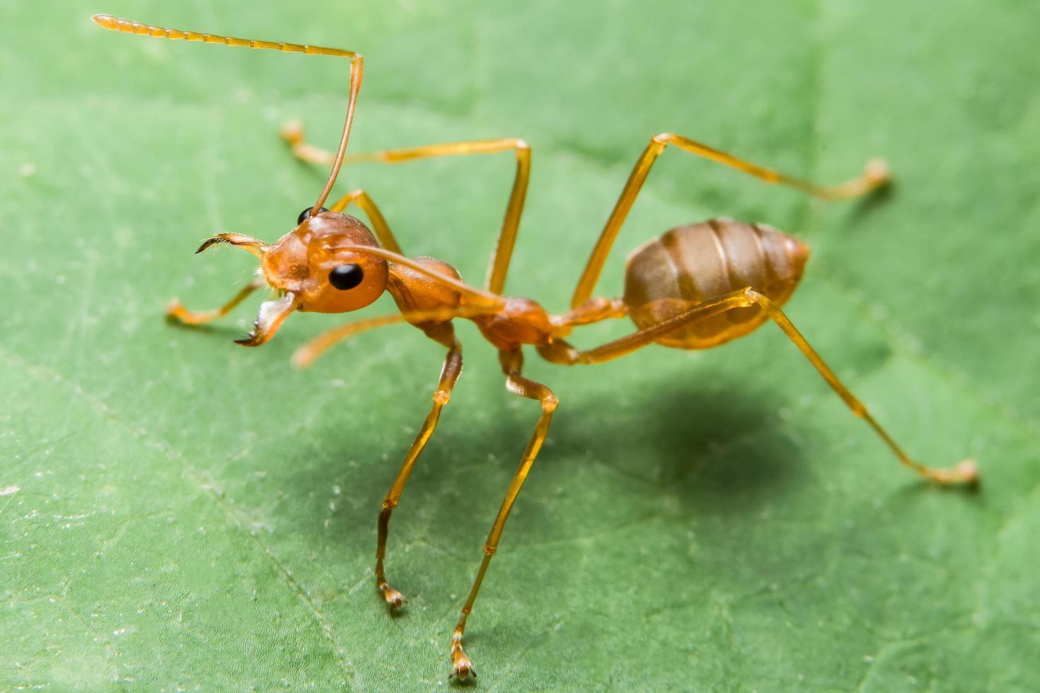 rote Ameise auf Blatt foto