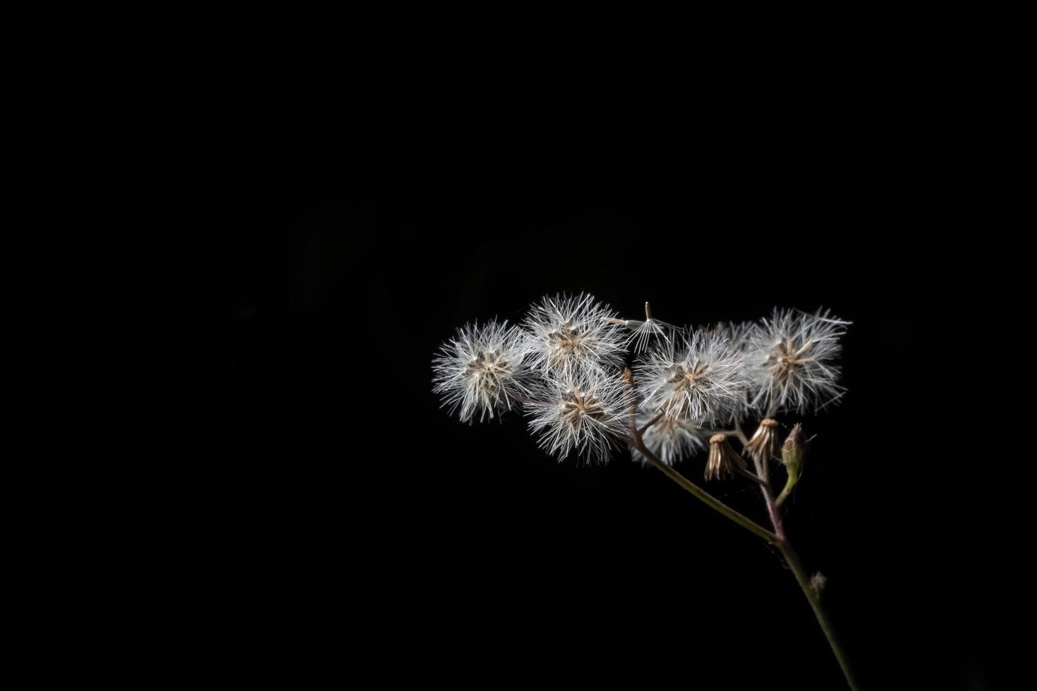 Wildblume auf festem schwarzem Hintergrund foto