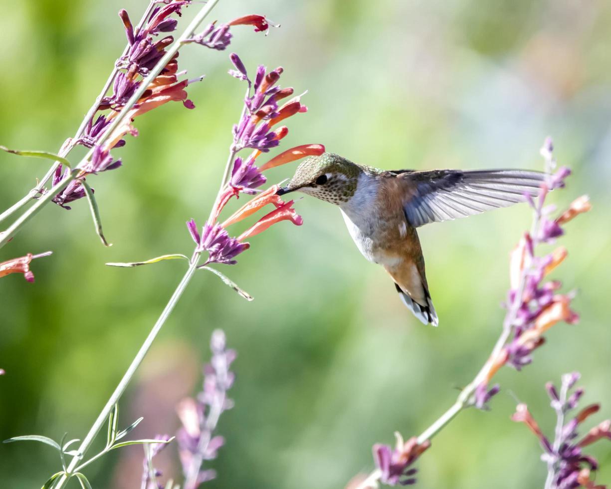 Kolibri mit Blumen foto