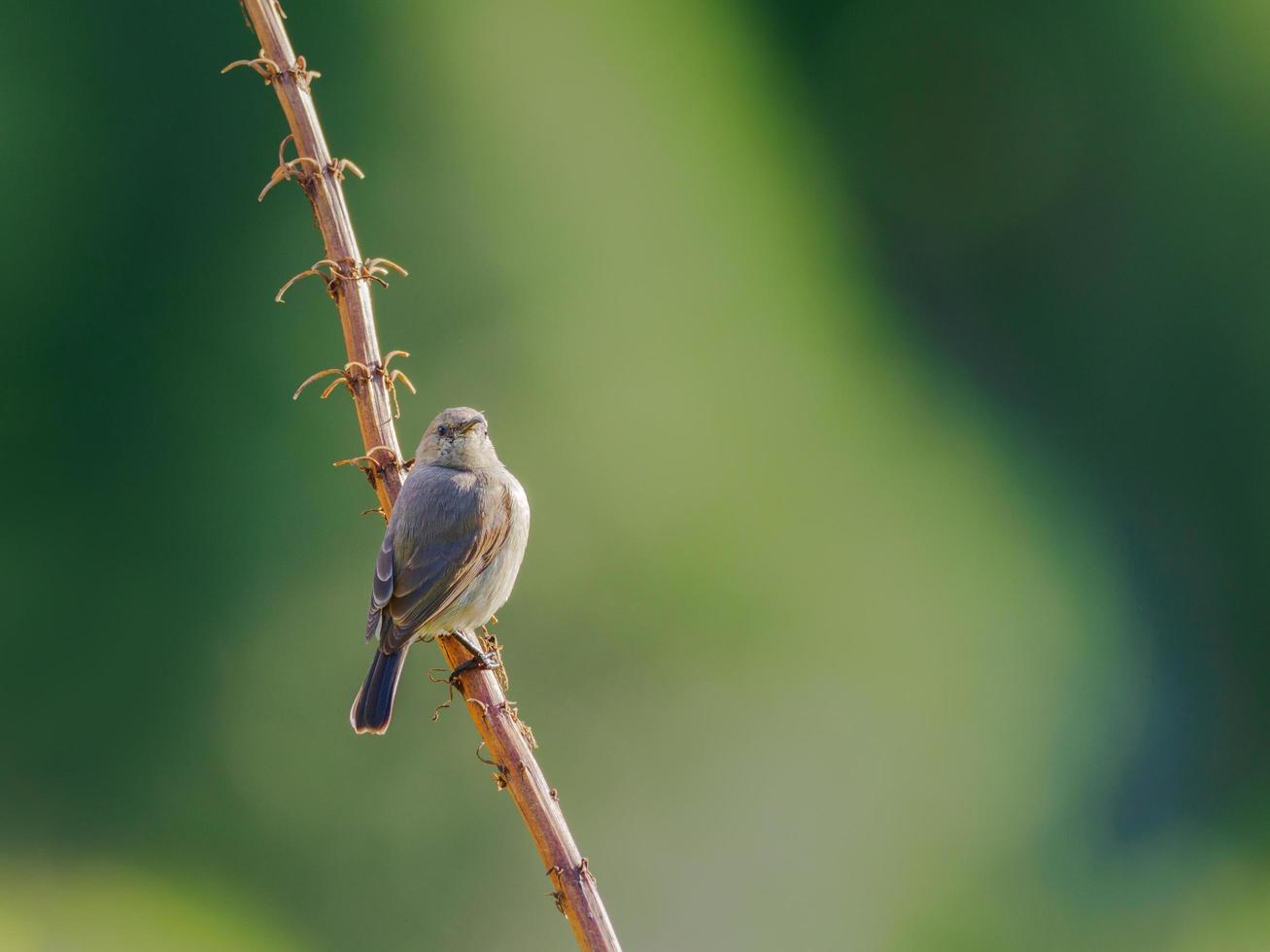 grauer Vogel thront auf Ast foto