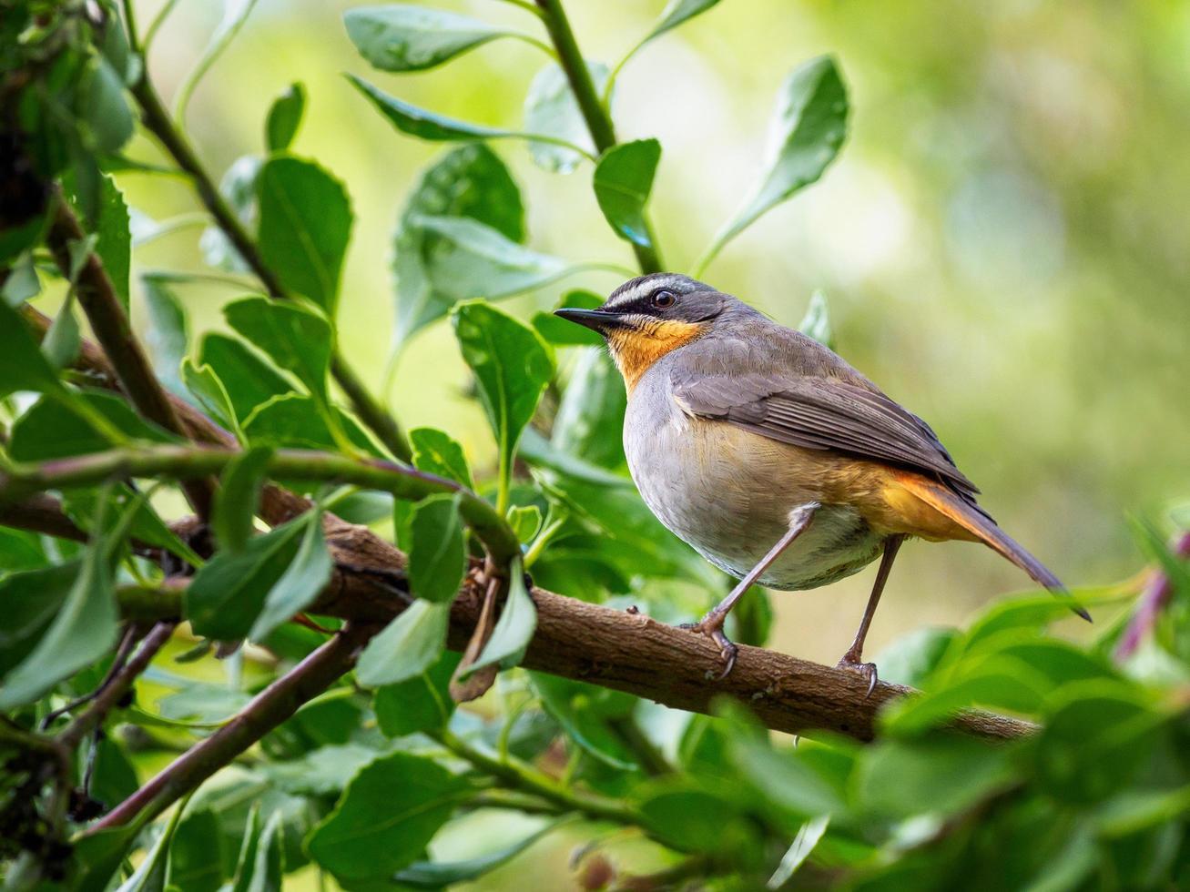 Nahaufnahme eines Kap-Rotkehlchen-Chat-Vogels foto