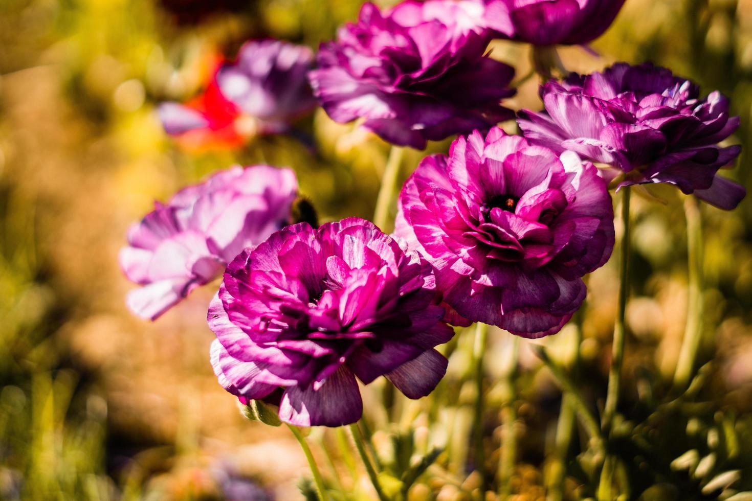 lila Blüten in der Sonne foto