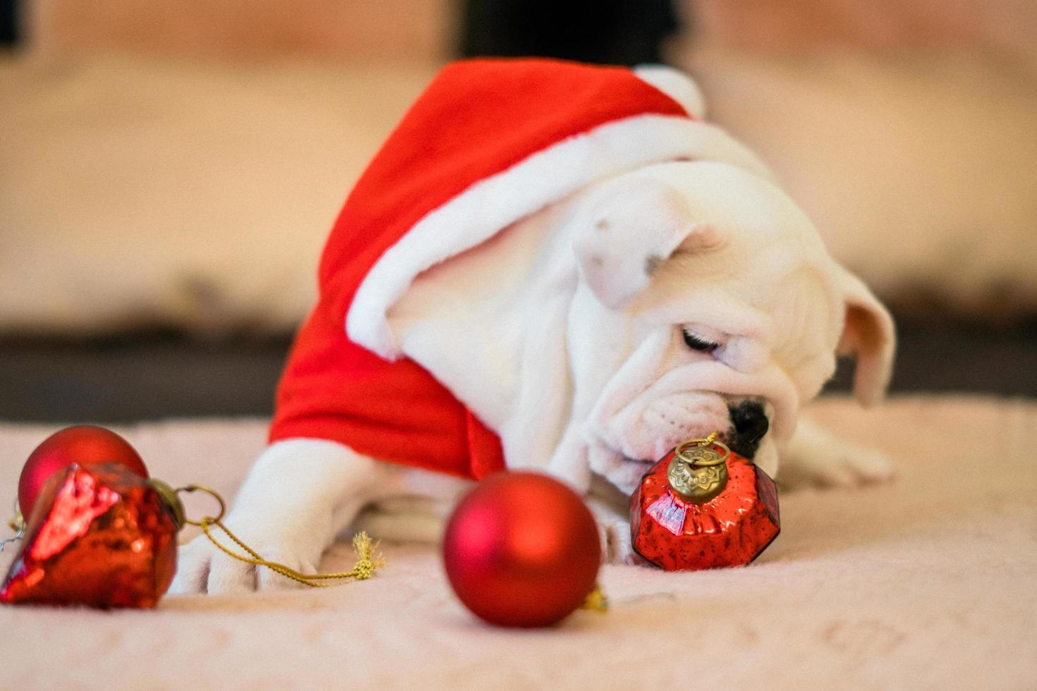 Bulldogge an Weihnachten foto