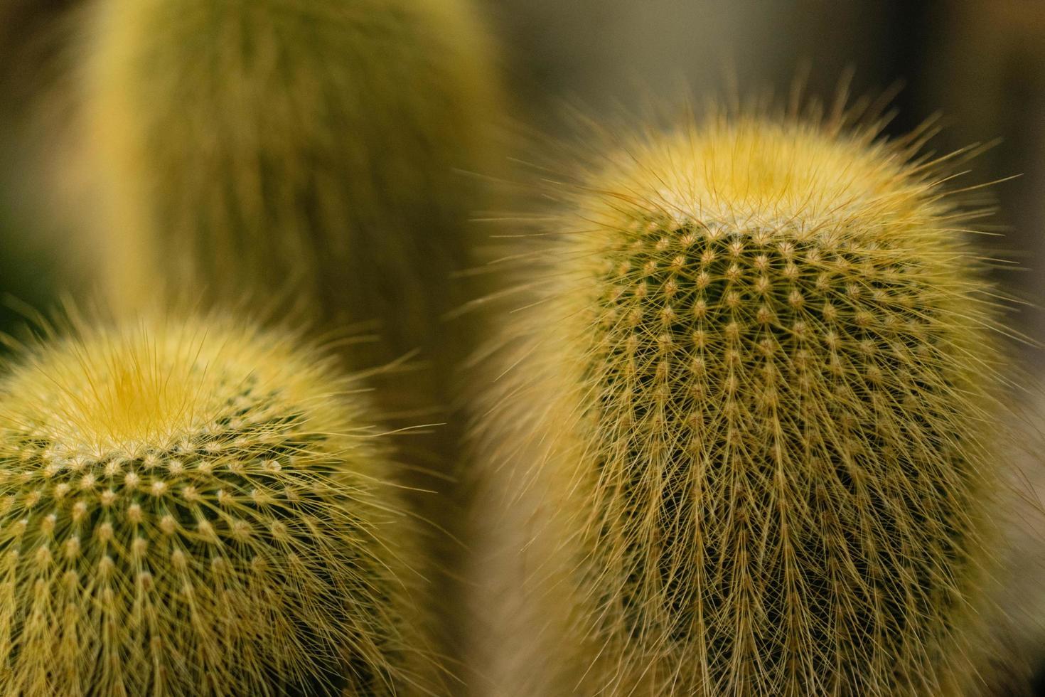 grüne Kaktuspflanze foto