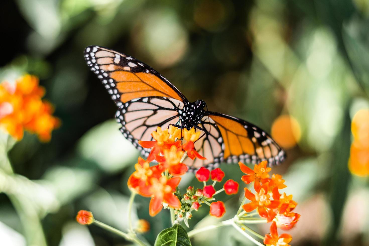 orange und schwarzer Schmetterling auf Blumen foto