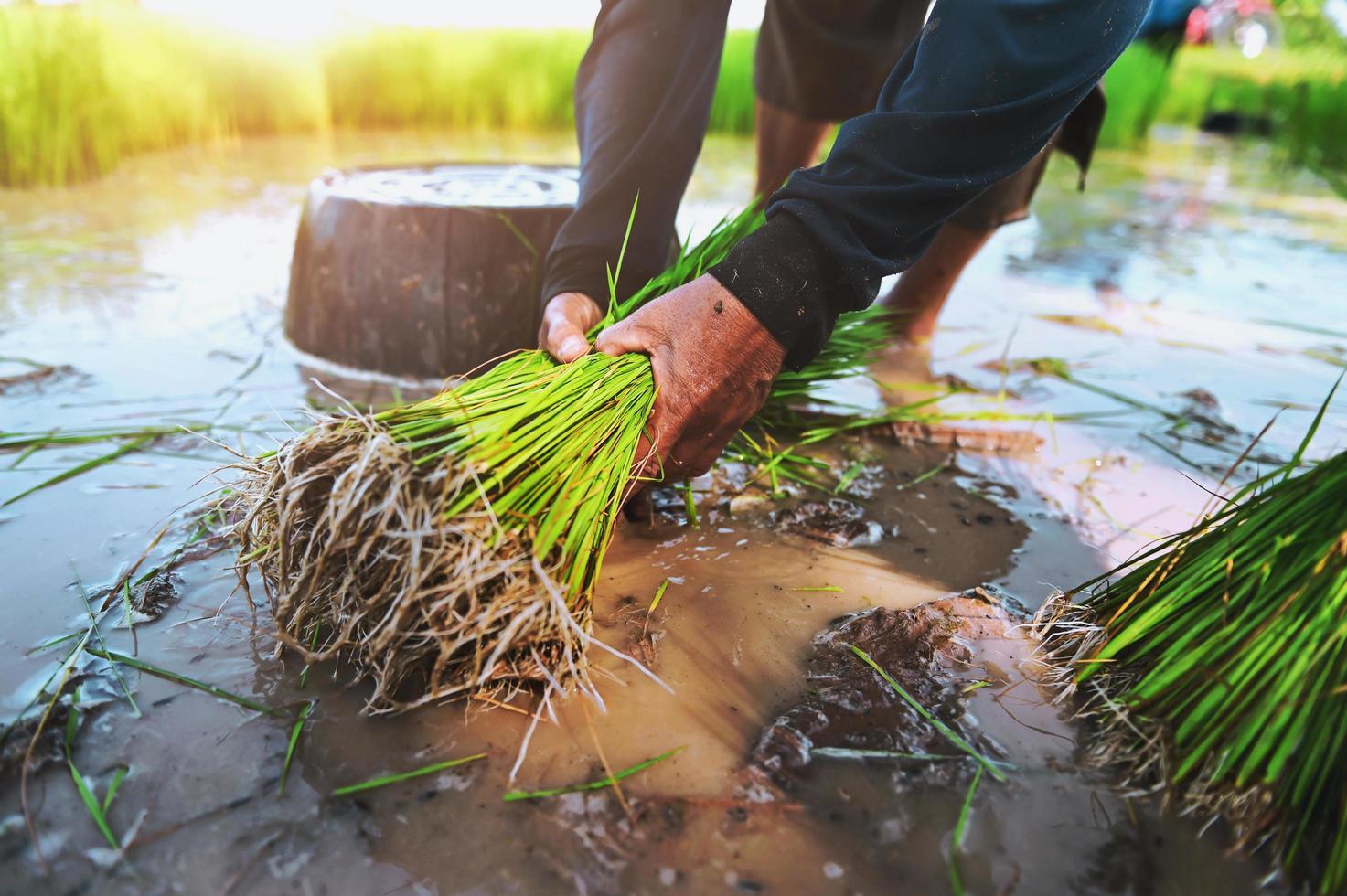 Person, die im Reisfeld pflanzt foto