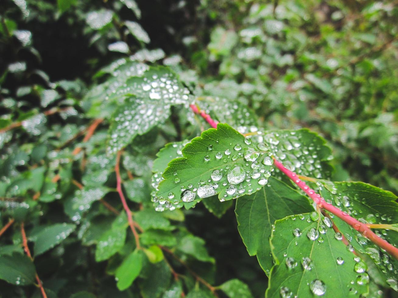 Tautropfen auf grünen Blättern foto