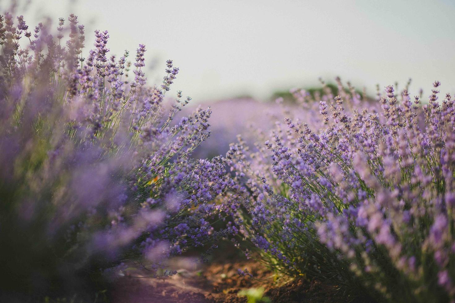 Lavendelfeld foto