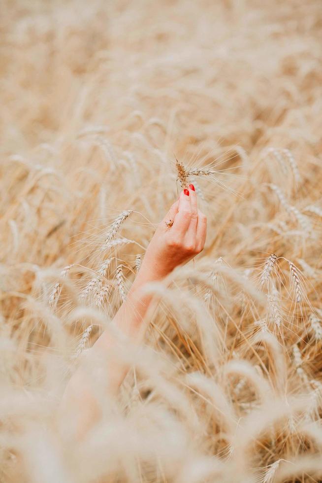 Hand, die Weizen im Weizenfeld hält foto