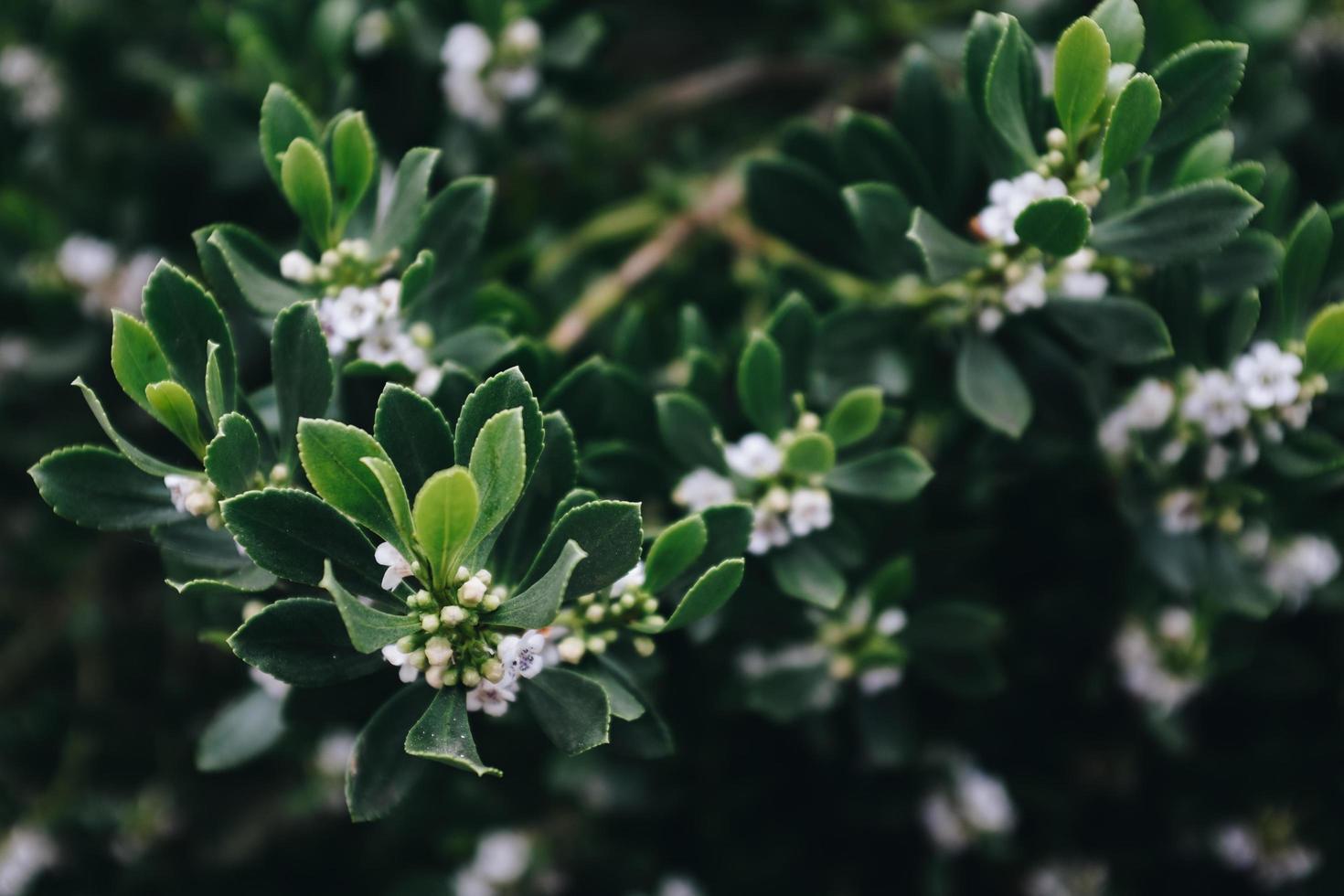 weiße Clusterpflanze foto